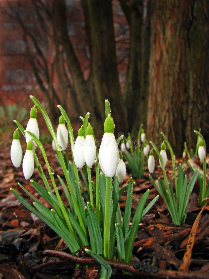 Snowdrops mit Dewdrops stockbild