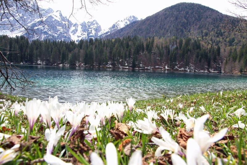 Snowdrops na flor e no lago bonito de Fusine imagens de stock