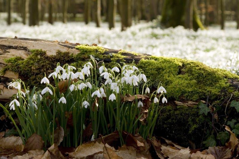 Snowdrops na madeira foto de stock royalty free