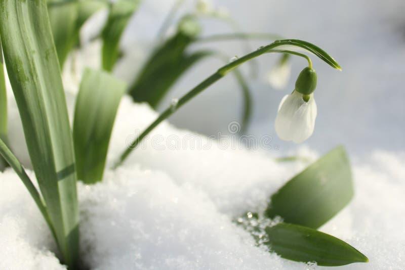 Snowdrops na neve imagens de stock royalty free
