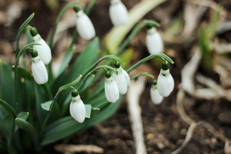 Snowdrops na primavera fotos de stock