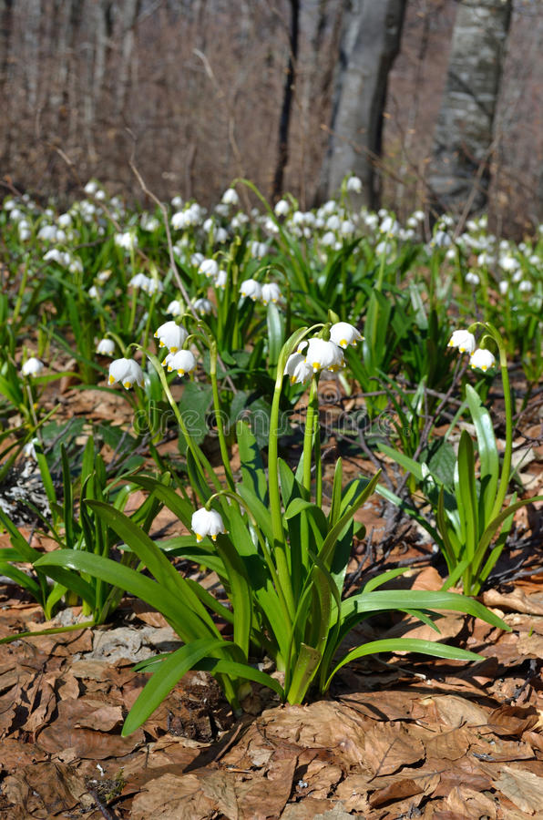 Snowdrops nella foresta fotografia stock libera da diritti