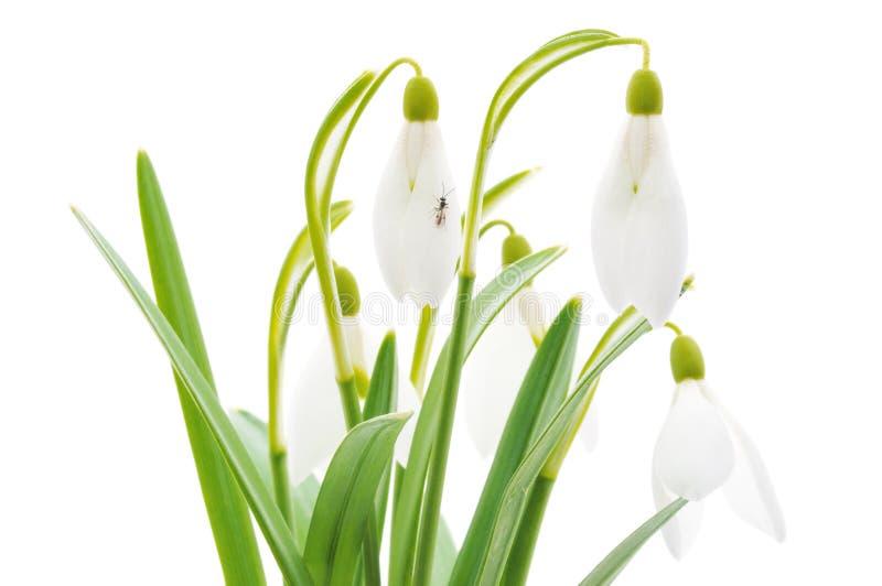 Snowdrops (nivalis de Galanthus) en el fondo blanco foto de archivo