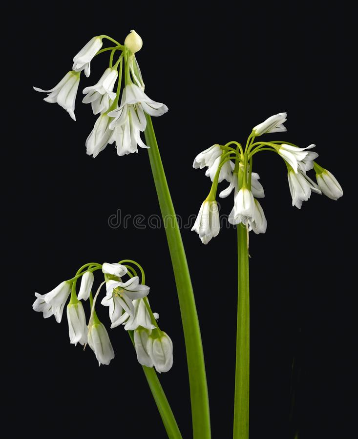 Snowdrops no preto fotos de stock royalty free