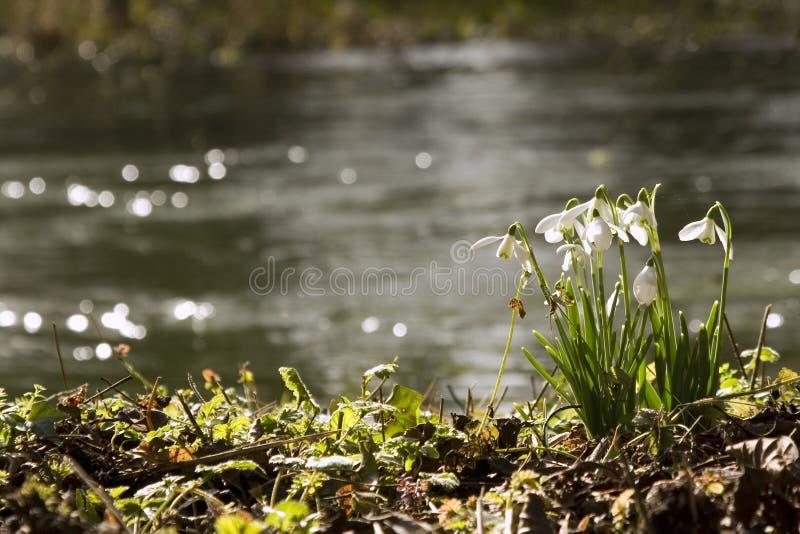 Snowdrops no rio fotografia de stock royalty free