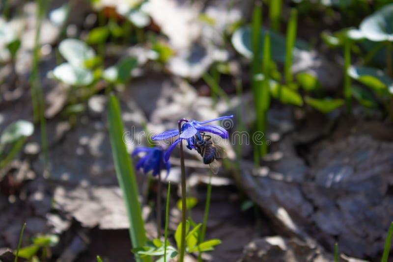 Snowdrops nos snowdrops azuis da floresta na mola perto das folhas secas imagem de stock royalty free