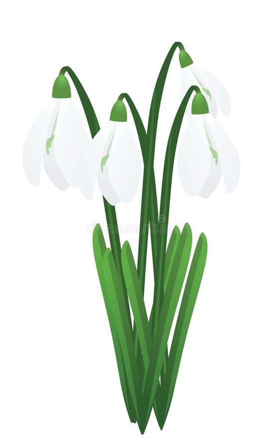 snowdrops Primi fiori della sorgente illustrazione vettoriale