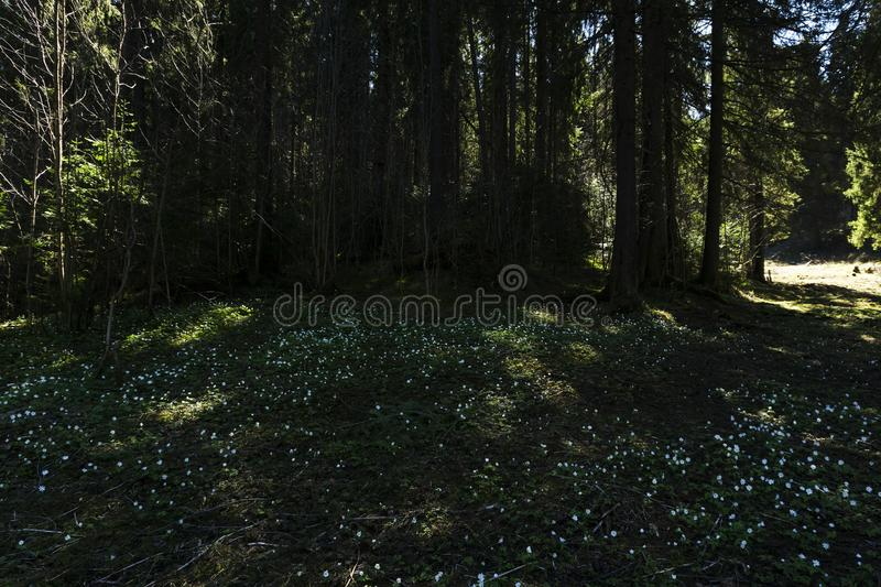 Snowdrops on a shady forest glade on a sunny day stock images
