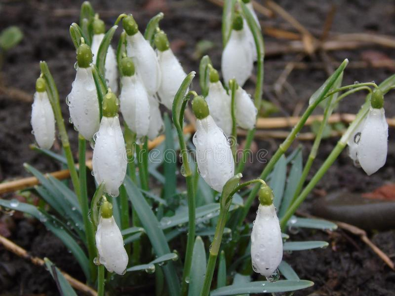 Snowdrops are a sign of spring stock photo