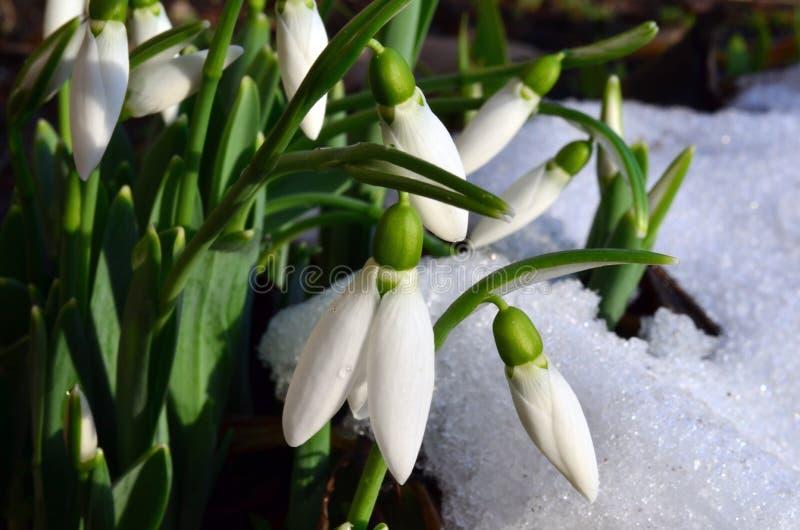Snowdrops And Snow Stock Photos