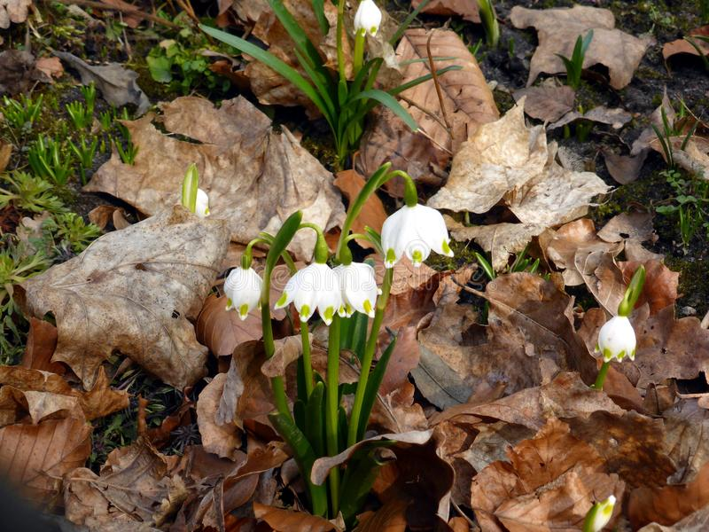 First spring flowers. royalty free stock image