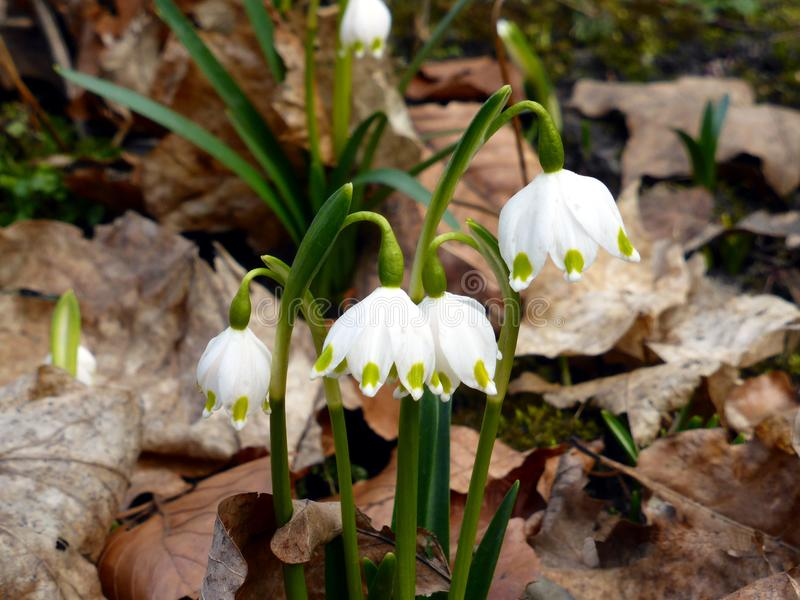 First spring flowers. stock photography
