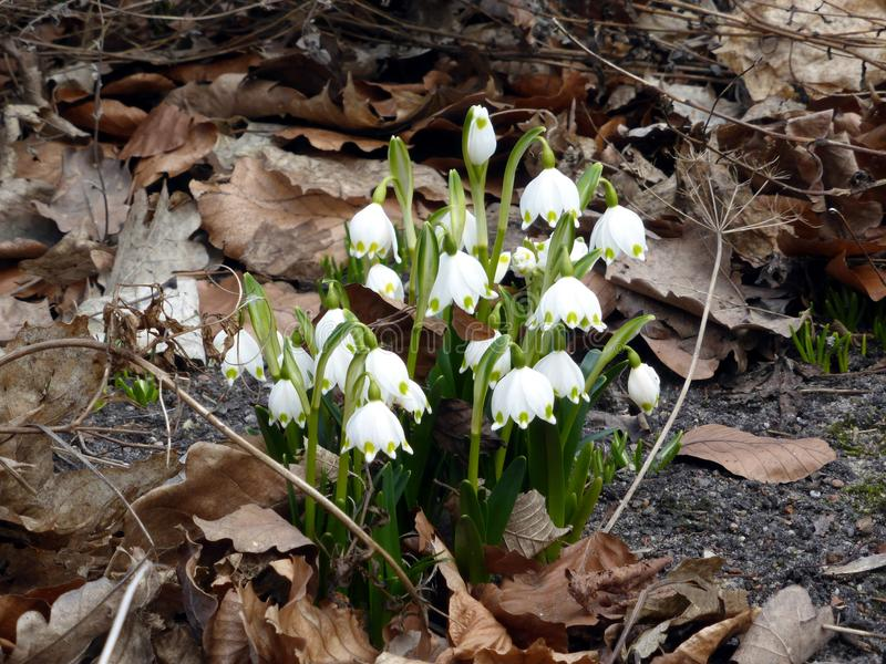 First spring flowers. stock image
