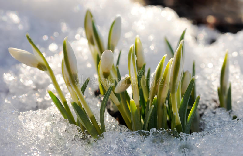 Snowdrops in the sparking melted snow. The first spring snowdrops in the sparking melted snow stock photo