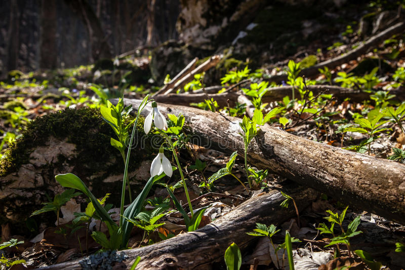 Download Snowdrops in spring stock image. Image of leaf, beautiful - 39502573