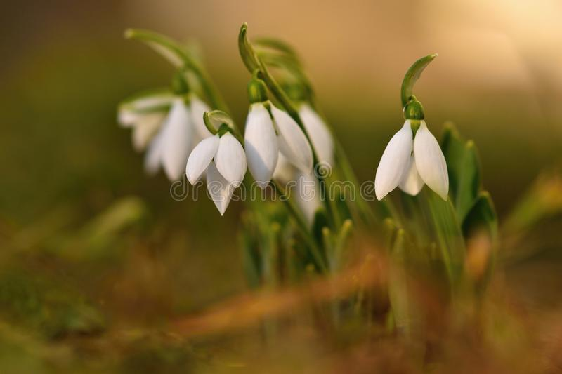Snowdrops spring flowers. Beautifully blooming in the grass at sunset. Delicate Snowdrop flower is one of the spring symbols. Ama royalty free stock image