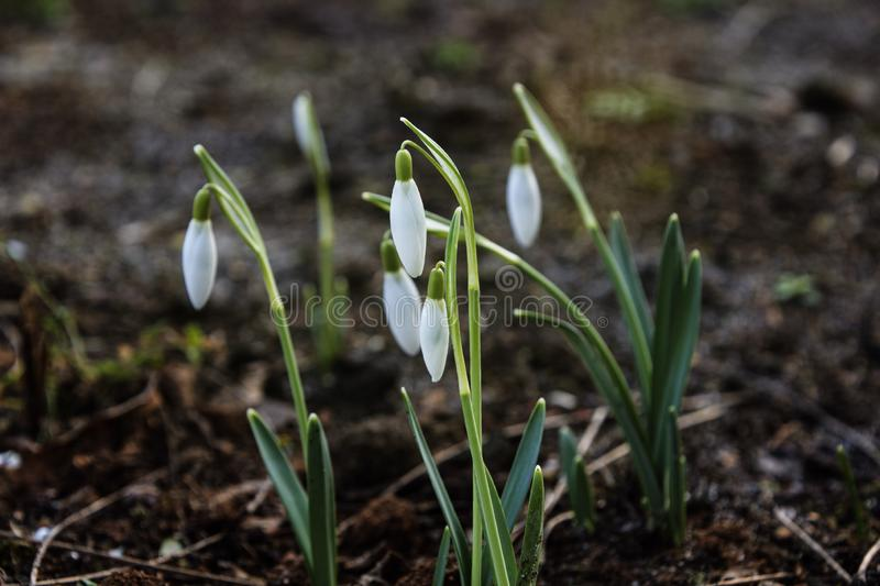 Snowdrops spring flowers. Delicate Snowdrop flower is one of the spring symbols. royalty free stock images