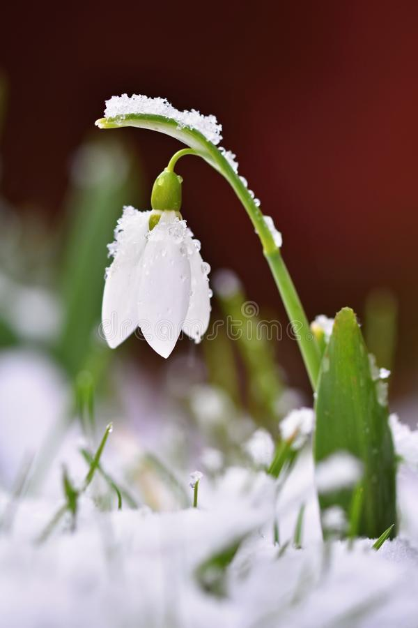 Free Snowdrops Spring Flowers. Beautifully Blooming In The Grass At Sunset. Delicate Snowdrop Flower Is One Of The Spring Symbols. Ama Royalty Free Stock Photography - 112958287