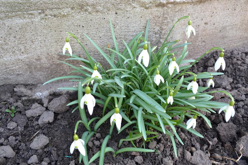 Snowdrops in spring, Galanthus nivalis and galanthus elwesii for encyclopedia. Spring bouquet. Easter background. Nature royalty free stock photography