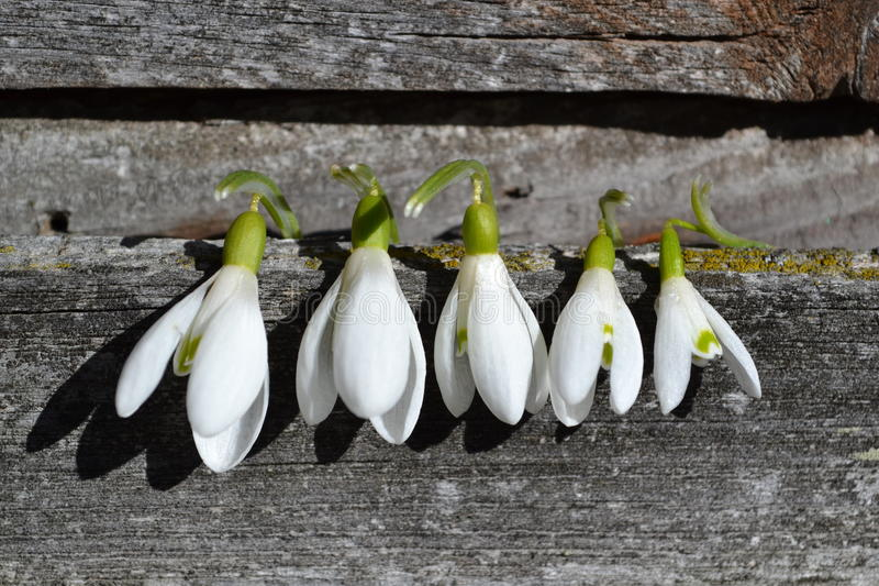 Snowdrops, sunny day, wood board royalty free stock photos