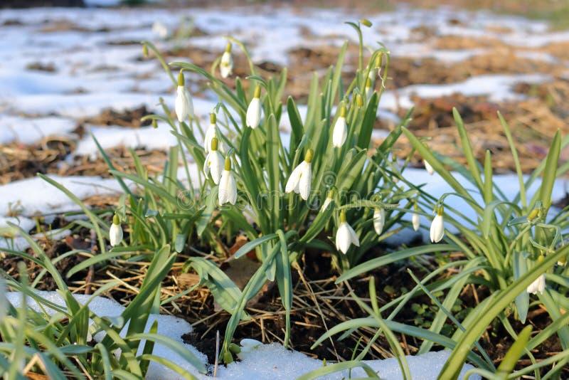 Snowdrops y primavera temprana imagen de archivo libre de regalías