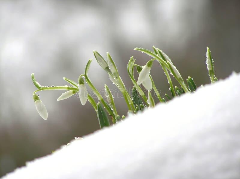 snowdropwhite royaltyfri foto