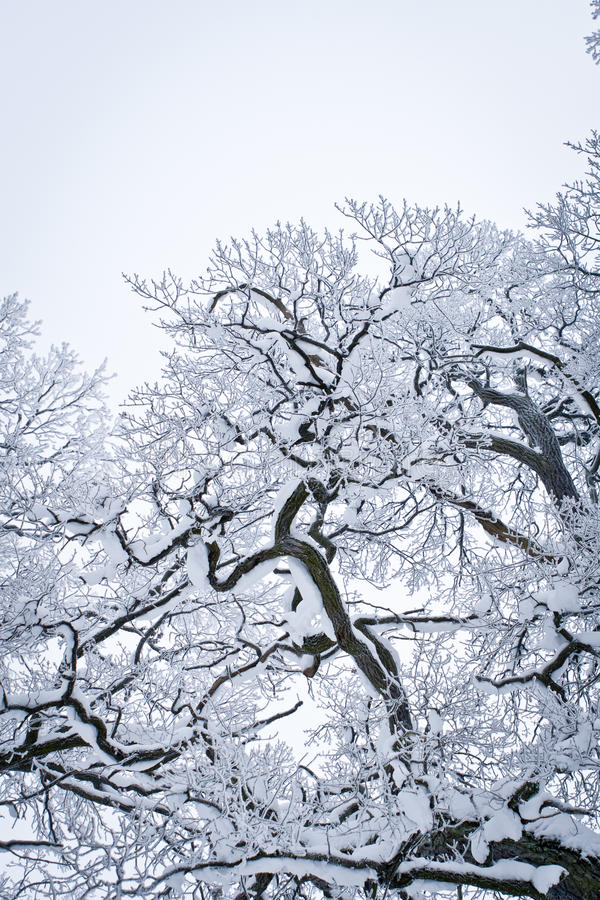 Download Snowed Tree stock image. Image of view, cold, blue, snow - 12539603