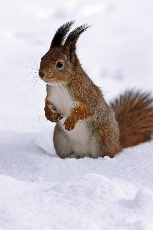snowekorrestanding arkivbild
