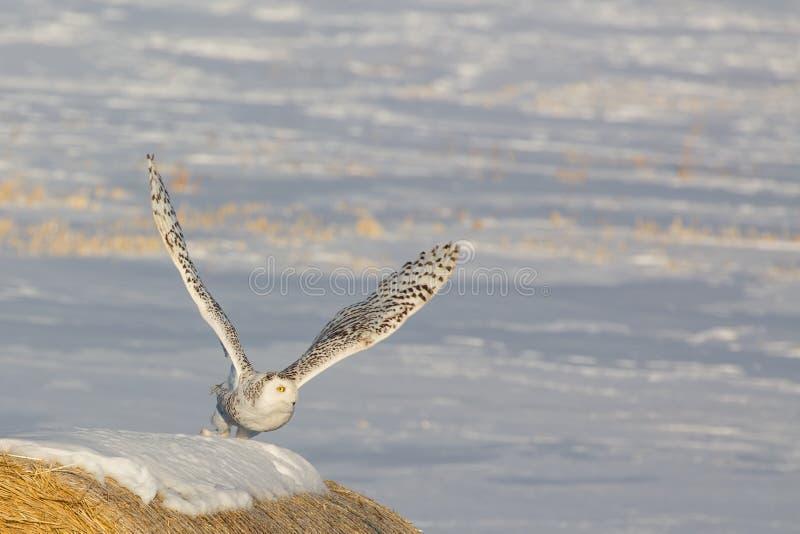 Snowey Owl Launch imagens de stock royalty free