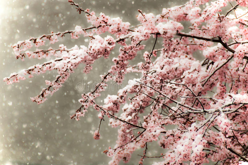 Snowfall on Cherry Blossoms stock images