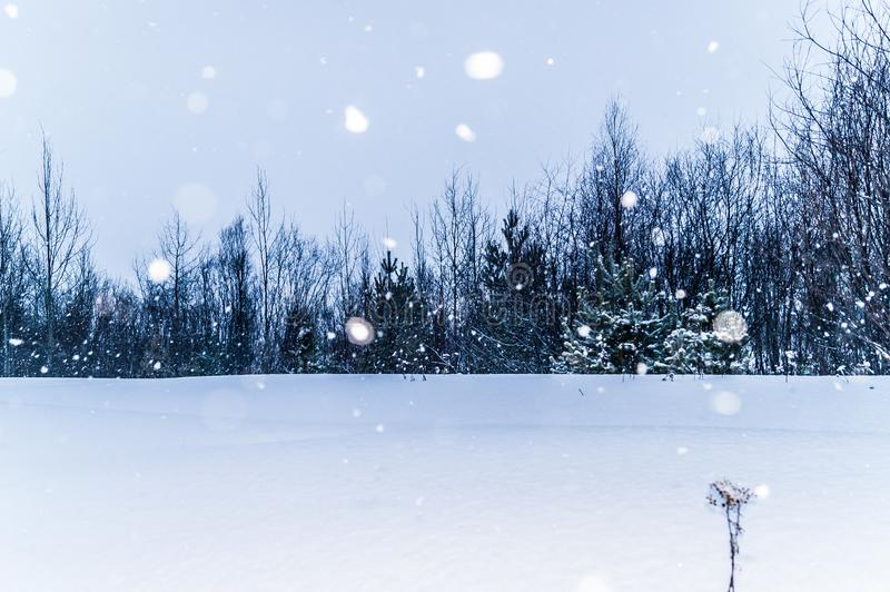 Snowfall at the edge of the forest, where pines, willows and birches grow, snowy winter royalty free stock image