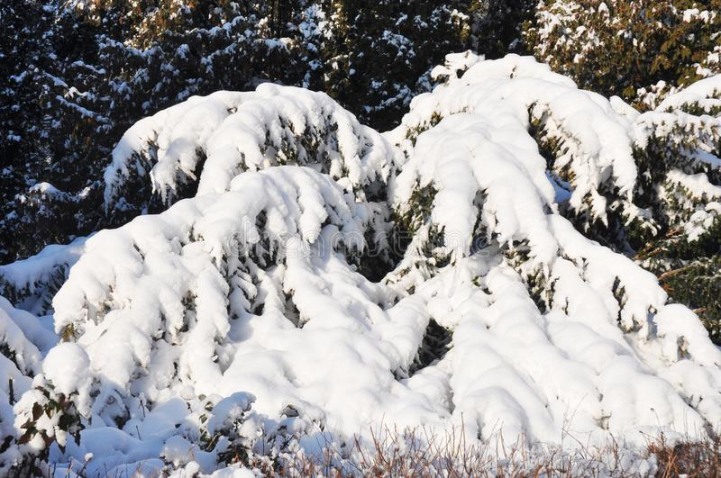 Snowfall in the house garden  covered juniper with snow. Winter wonderland stock images