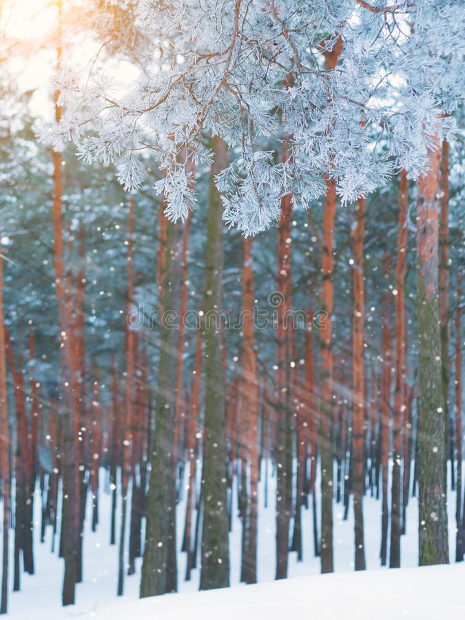 Snowfall in the pine forest. stock photography