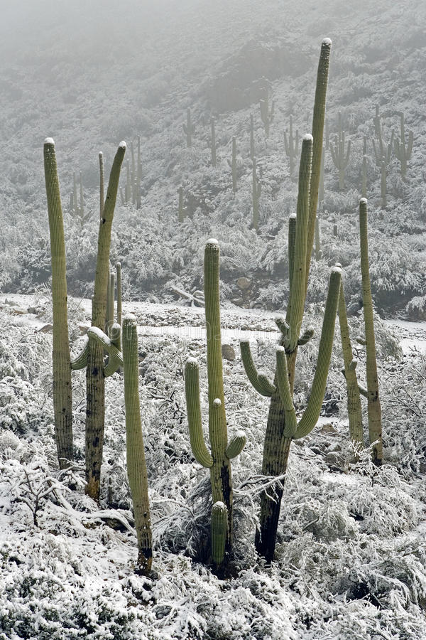 Snowfall on Saguaros stock images