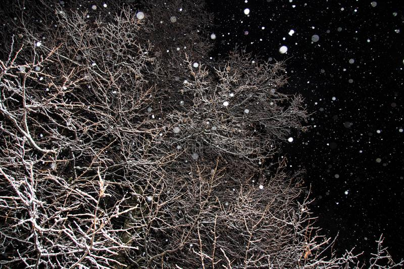 Snowfall, snow flakes, winter trees, branches covered snow at night stock image