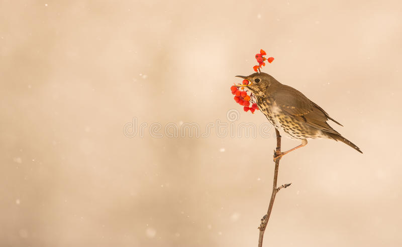 Song Thrush eating a berry. During a snowfall, a Song Thrush (Turdus philomelos) perches on a thin twig with a berry in its beak royalty free stock photo