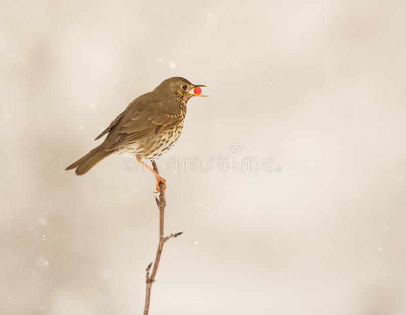 Song Thrush eating a berry. During a snowfall, a Song Thrush (Turdus philomelos) perches on a thin twig with a berry in its beak stock photo