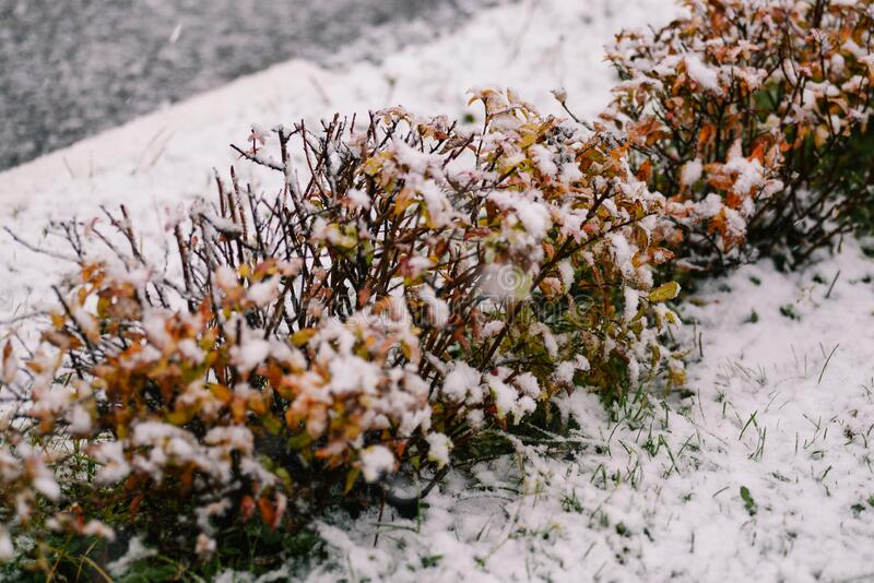 Snowfall on the street. Snow falls on the bushes in the park. Frosty and cold weather. Snow flakes fall on the grass.  royalty free stock photo