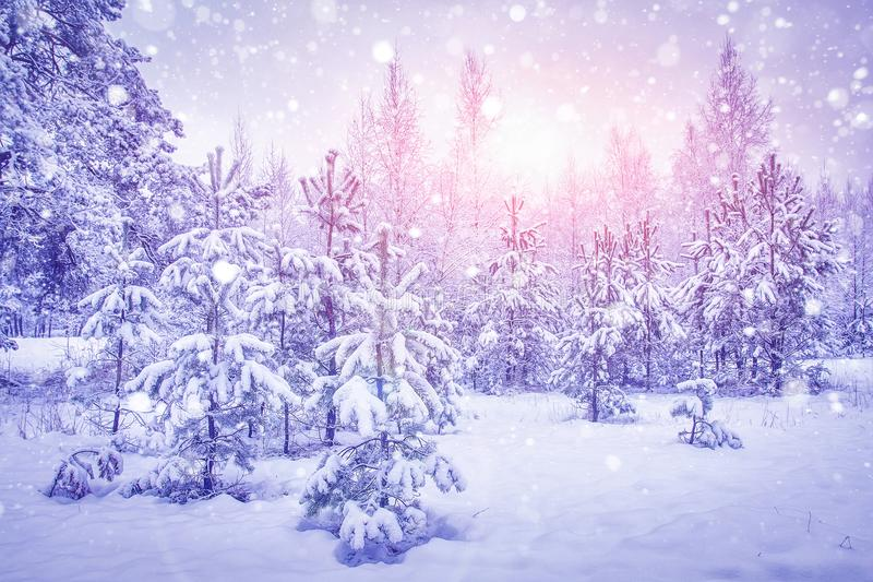 Snowfall in winter forest at bright sunrise. Snowflakes shining on sunlight over snowy christmas trees. Xmas background royalty free stock image