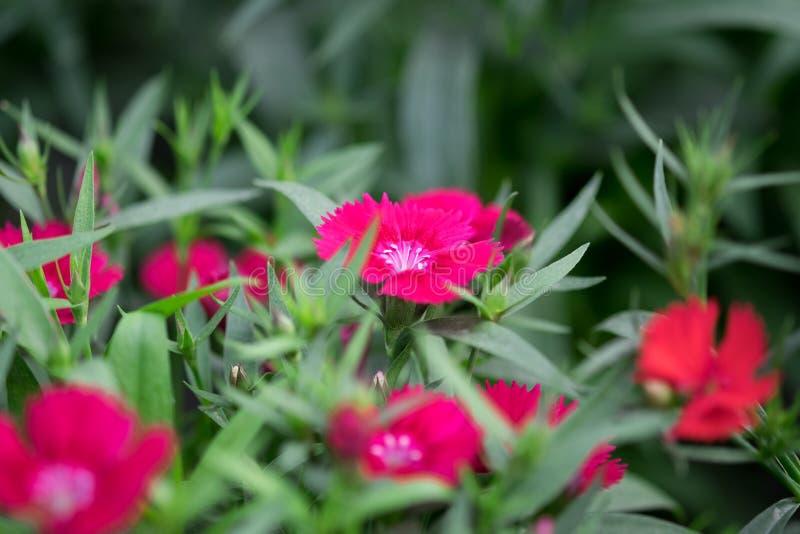 Snowfire, boneca de China, flor do rosa de China, cravo-da-índia cor-de-rosa das flores do cravo-da-índia chinensis imagem de stock royalty free