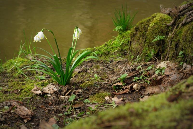 Snowflake λουλούδι στοκ εικόνες με δικαίωμα ελεύθερης χρήσης