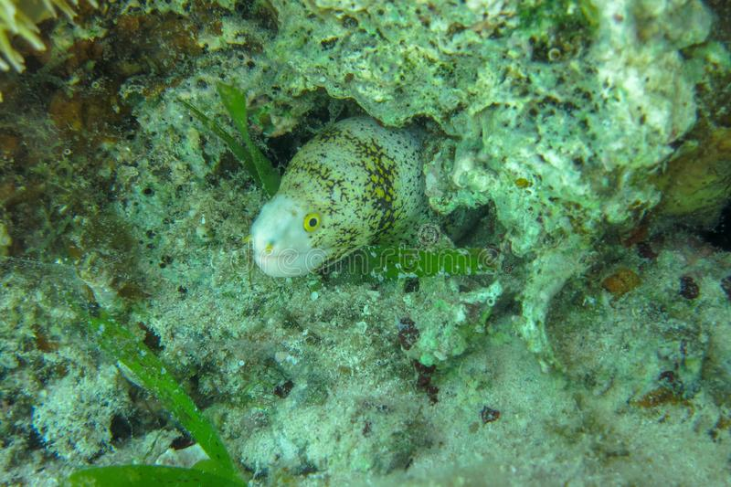 Snowflake Moray tira a cabeça de um buraco num recife de coral Peixes marinhos nublados da família Muraenidae Echidna Nebulosa foto de stock royalty free