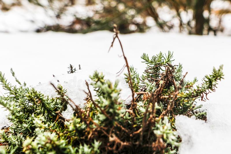Snowflakes over a little bush with a snow covered floor royalty free stock photography