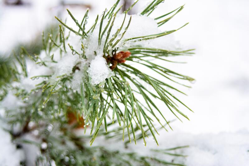 Snowflakes and water drops of melted snow on a branch and pine needles closeup, first snow, cold snap. Winter is coming stock photography