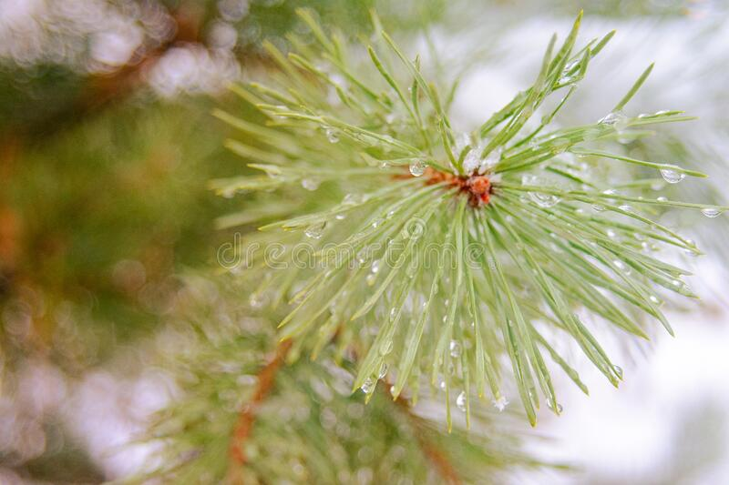 Snowflakes and water drops of melted snow on a branch and pine needles closeup, first snow, cold snap, winter. Is coming royalty free stock photography