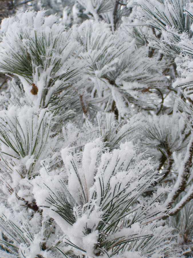 Free Snowfrost On Pine Tree Royalty Free Stock Image - 14440536