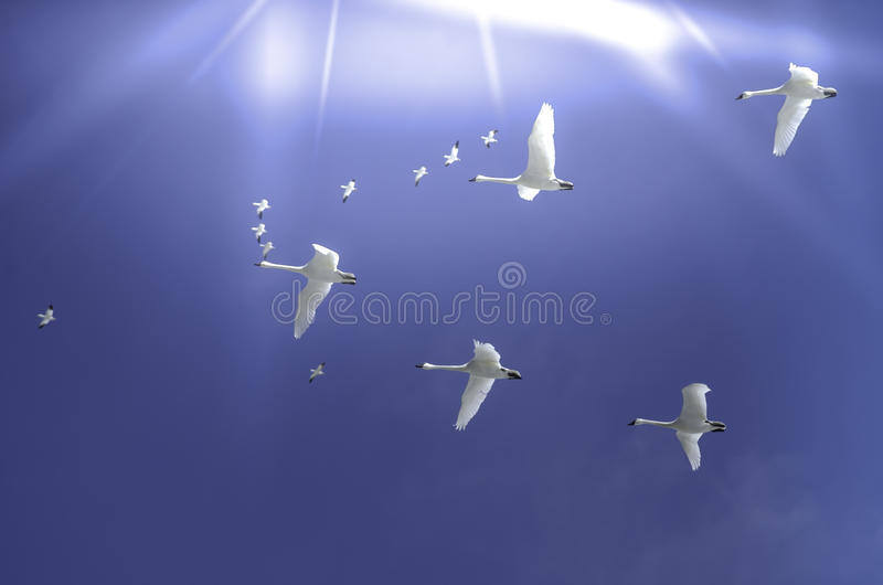 Snowgeese in the sun stock photography