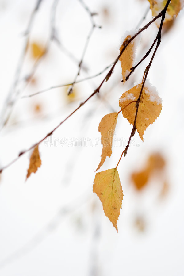 Download Snowing in autumn stock image. Image of winter, branch - 1480829