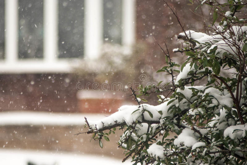 Snowing. And landing on a privet hedge royalty free stock photo