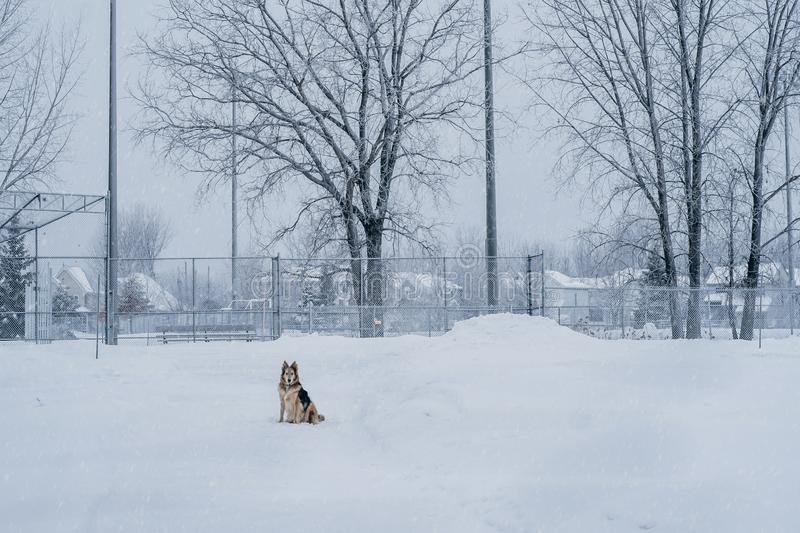 Snowing in a park dog scene stock photo